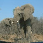 Elephant has strong emotions and complex consciousness