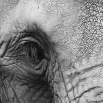 The elephant is an intelligent creature with complex consciousness and strong emotions
