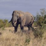 Across Africa elephant has inspired respect from people that share the landscape