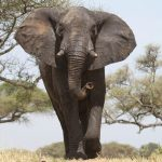 Across Africa the elephant has inspired respect from people giving it a strong cultural significance