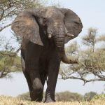 Across Africa elephants have inspired respect from people giving them a strong cultural significance