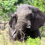 The elephant is an icon of the continent