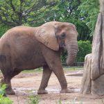 The male elephants often live longer than female elephants