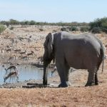 The elephants are tourism magnets as they are the icons of the continent