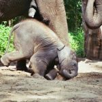 Elephant is extremely long-lived