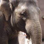 The older female is the matriarch of the elephant herd