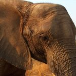 Older female is the matriarch in the elephant herd
