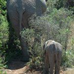 Older female leads the elephant herd