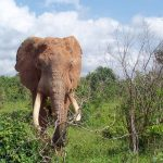 The older female that leads an elephant herd is the matriarch