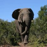 Older female that leads an elephant herd is the matriarch