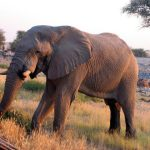 Kenyan elephants are extremely long-lived