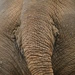 The elephant lives in family groups known as herds led by an older female who is the matriarch of the herd