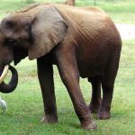 The elephants live in family groups known as herds led by an older female who is the matriarch of the herd