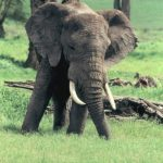 Elephants live in family groups known as herds led by an older female who is the matriarch of the herd