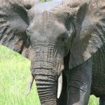 An elephant lives in family groups known as herds led by an older female who is the matriarch of the herd and uses her experience and old age to show it to food and water