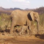 An older female who is the matriarch of the elephant herd leads it and uses her experience and old age to protect and show it to food and water