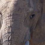 The older female who is the matriarch of an elephant herd leads it and uses her experience and old age to protect and show it to water and food