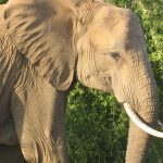 The female elephants stay with the same herd