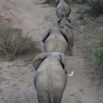 The female elephant stays with the same herd