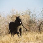 Female elephant stays with the same herd all its life