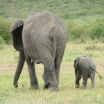 The male elephant remains with the herd until the age of 12-13