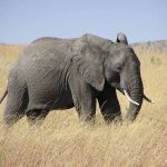 Male elephant remains with the herd until the age of 12-13