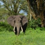 A Kenyan elephant is long-lived, surviving to 60 to 70 years with male elephants often living longer than females