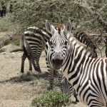 The plains zebra is the most common type of zebras and has six subspecies