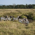 The zig-zag manner in which zebras run when chased makes it more difficult for predators to attack