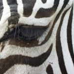 The subspecies of plains zebra are distributed across much of Eastern and Southern Africa