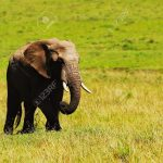 http://www.123rf.com/photo_10730635_big-african-wild-elephant-walking-in-savanna-game-drive-wildlife-safari-animals-in-natural-habitat-b.html