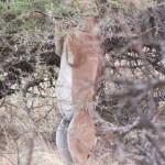 The gerenuk antelope is also know as Litocranius walleri