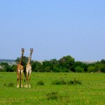 The giraffe and the okapi both have seven cervical vertebrae.