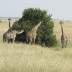 Giraffes belong to the G. Camelopardalis species