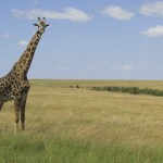 Giraffes belong to the Artiodactyla order