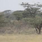 Giraffa camelopardalis is the binomial name of giraffe