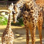 Many people first believed that giraffes were a cross between a camel and a leopard