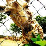 Giraffes are the tallest land animals