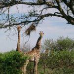 Giraffe legs are 6 feet long