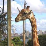 Giraffe neck and legs are 6 feet long each