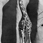The back legs of a giraffe look shorter than the front legs