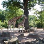 The legs of the giraffe are 6 feet but the back legs look shorter than the front legs