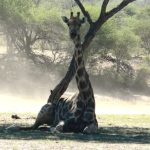 People believed that giraffes were a cross between a camel and a leopard