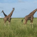 The legs of the giraffes are 6 feet but the back legs look shorter than the front legs