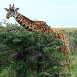 The legs of the giraffe are 1.8 meters long