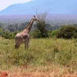 The legs of the giraffes are 1.8 meters long