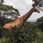 The giraffes' closest relatives are the okapis