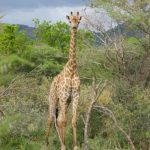 The are four distinct species of giraffes