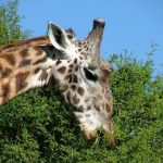 According to a recent study of giraffe genetics there are four distinct species of giraffes