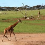 Giraffe's coat colors vary from practically black to light tan